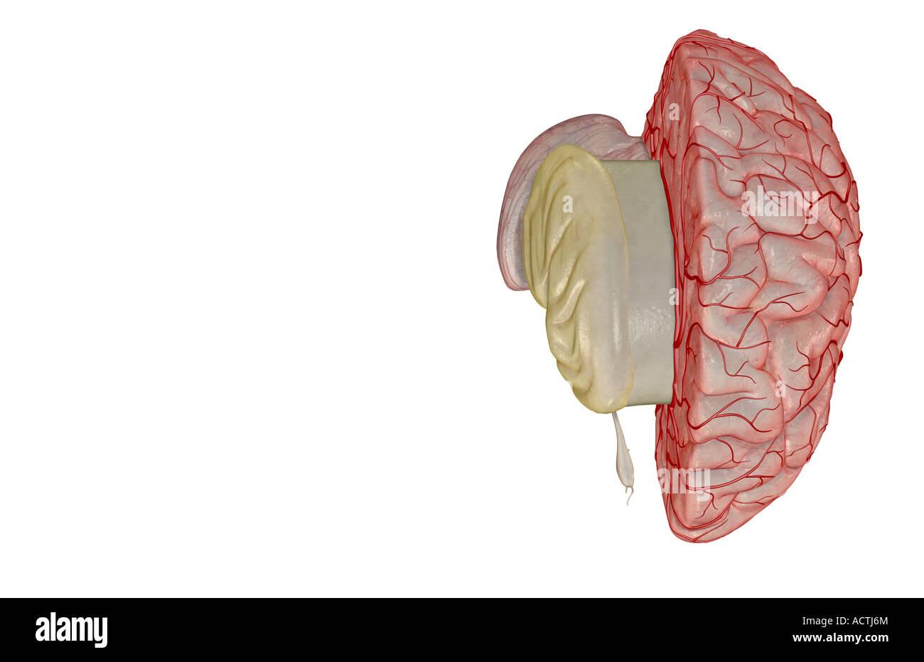 Anterior Cerebral Artery Stock Photos Anterior Cerebral Artery