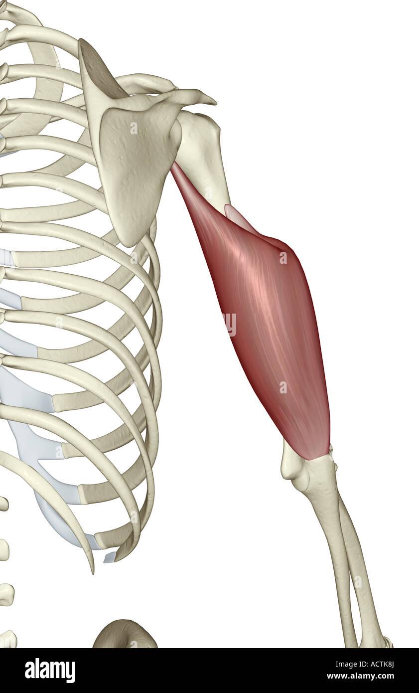 Triceps Brachii Stock Photo 13227857 Alamy