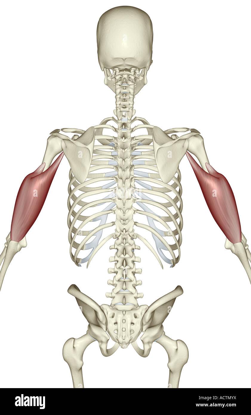 Triceps brachii Stock Photo: 13228429 - Alamy