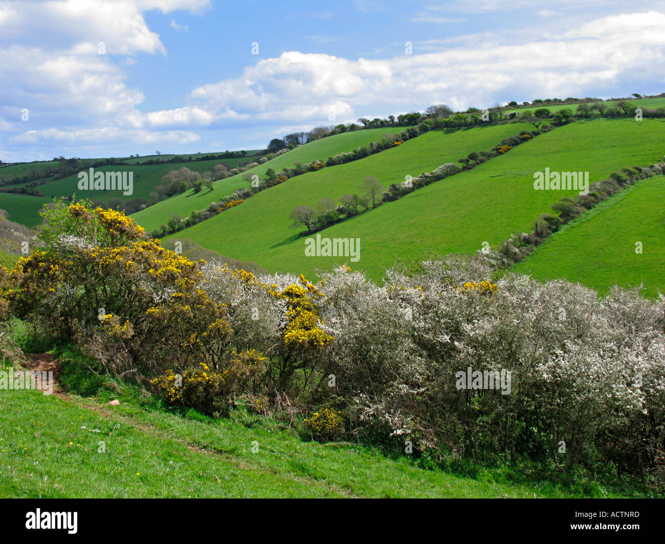 May blossom and gorse hedgerows. Devon. UK - Stock Image