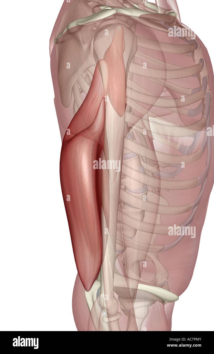 Triceps brachii Stock Photo: 13229018 - Alamy