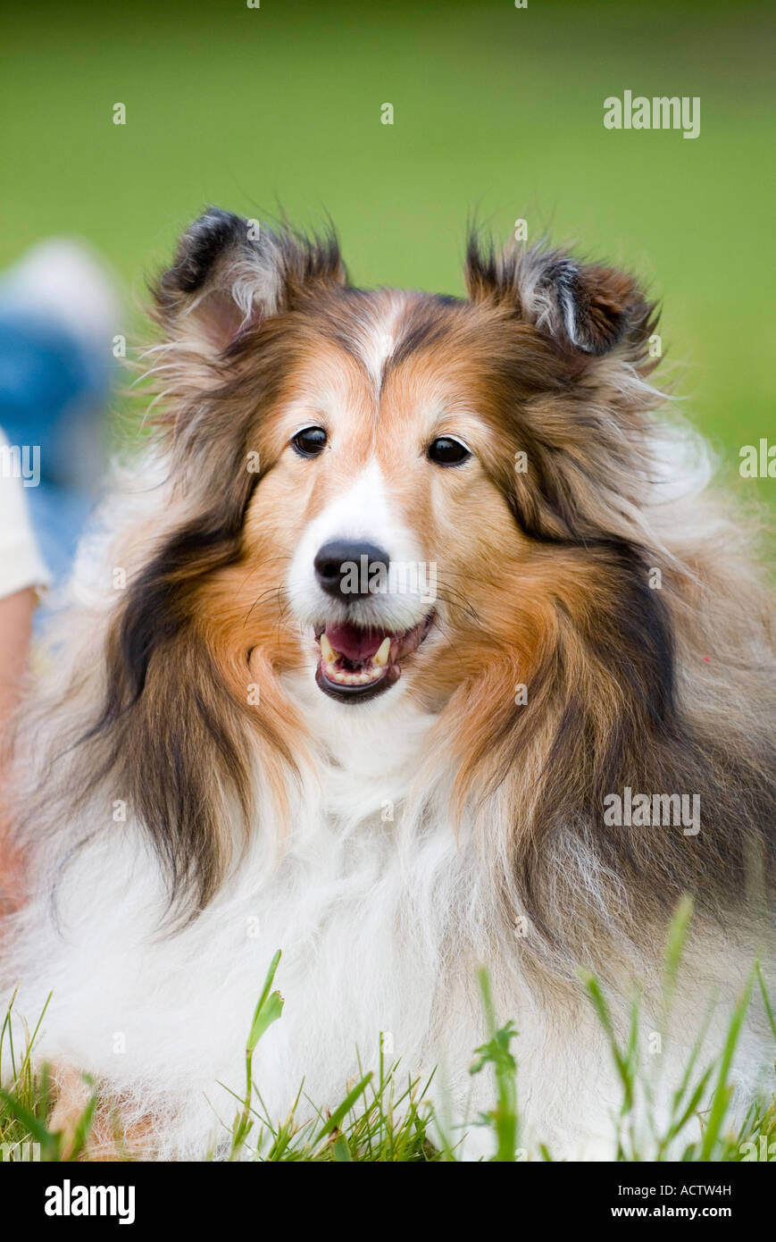 A Portrait Of An Australian Shepherd Brown And White Dog Stock Photo Alamy