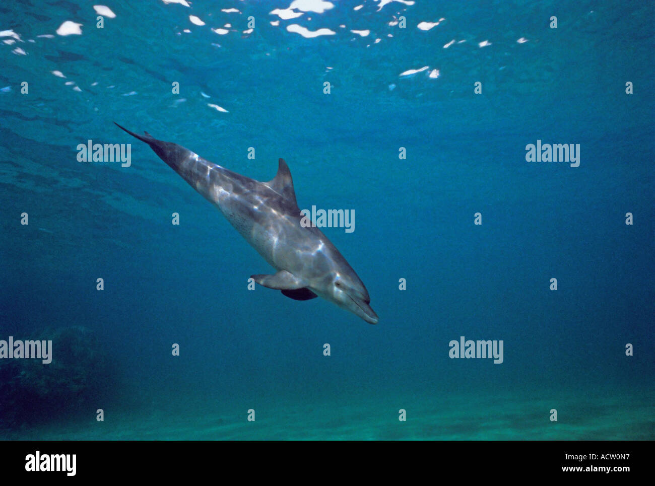 A wide angle view of a Bottlenose dolphin (Tursiops truncates) underwater against a blue background. - Stock Image