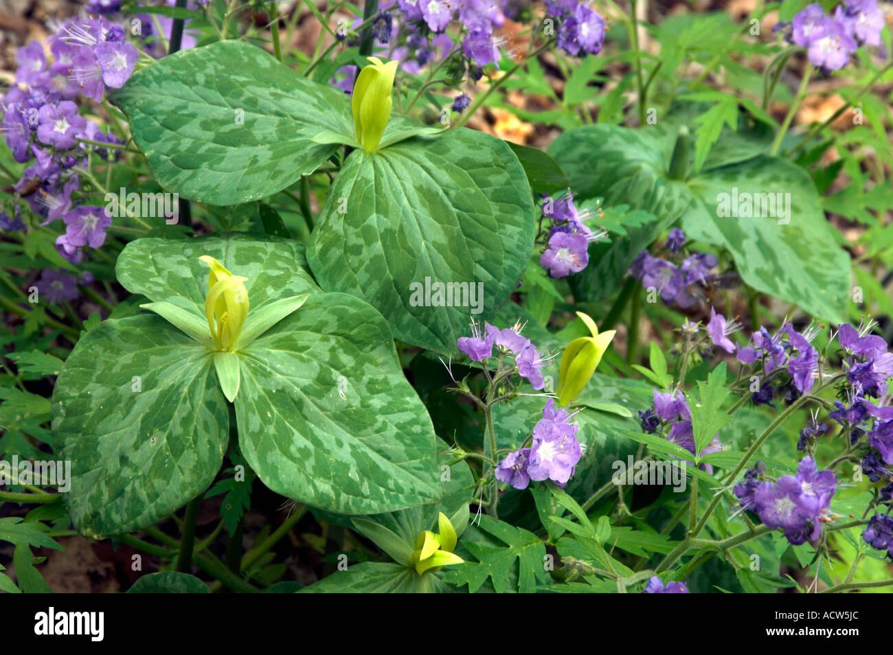 Yellow trillium and purple phacelia flowers in great smokey yellow trillium and purple phacelia flowers in great smokey mountains national park tennessee usa mightylinksfo