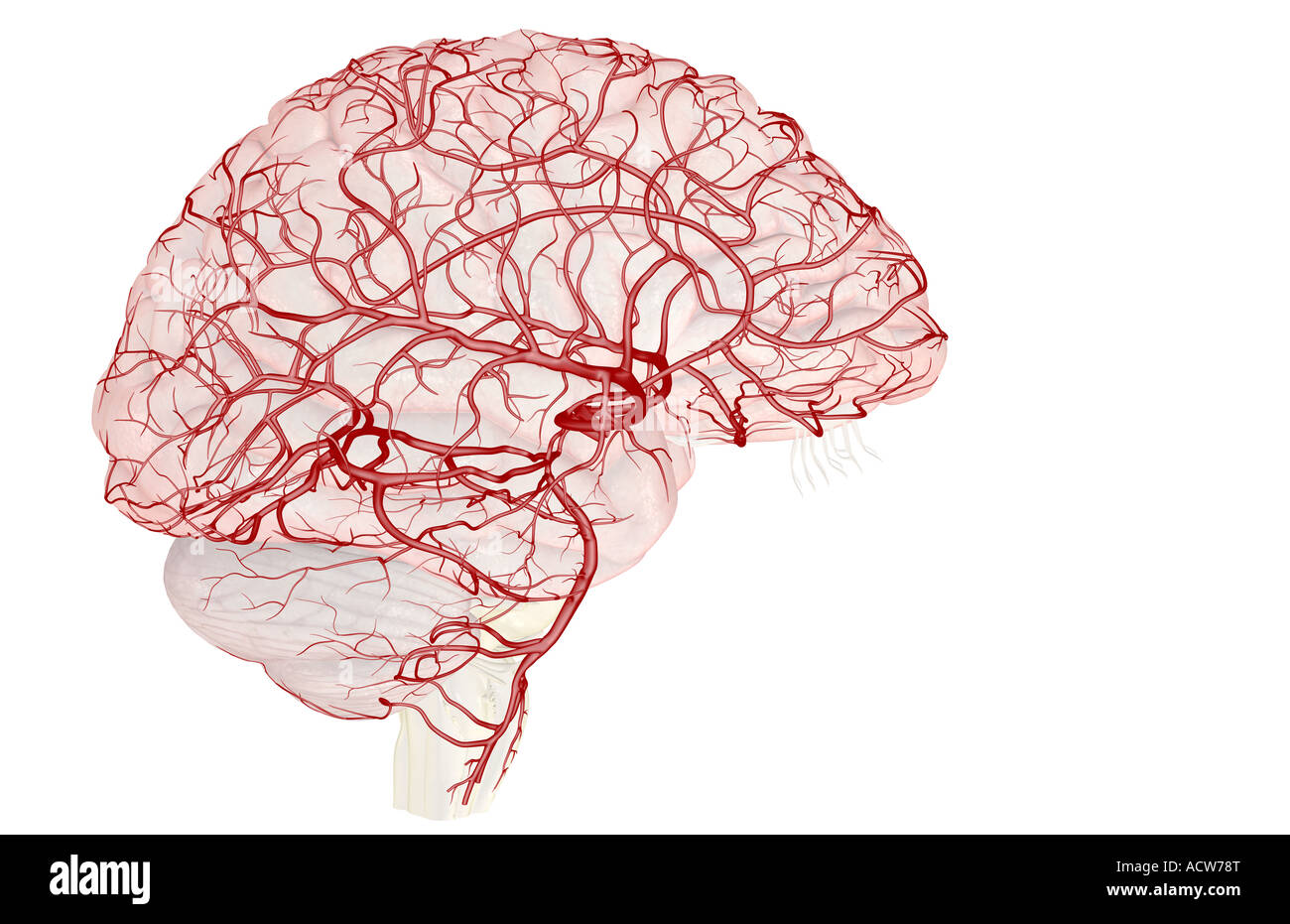 The arteries of the brain - Stock Image