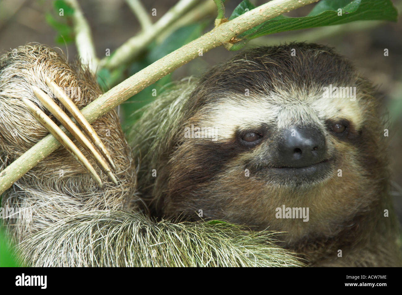 A closeup of a three toed sloth face in a tree near Puerto Limon, Costa Rica Stock Photo