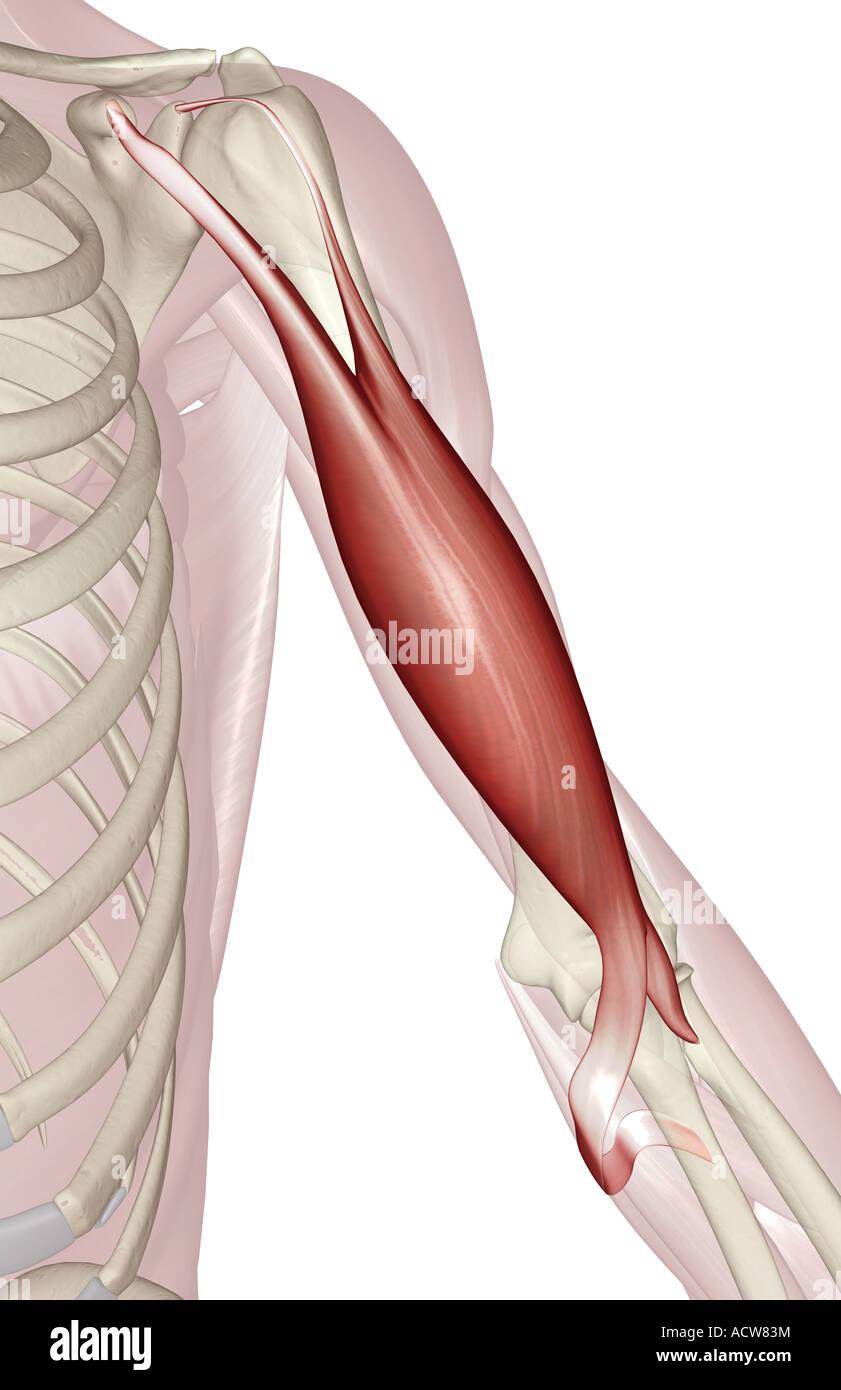 Biceps brachii Stock Photo: 13233511 - Alamy