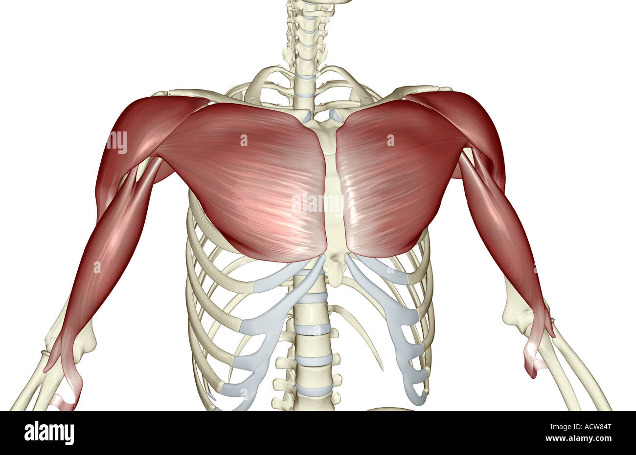 Muscles Of The Upper Arm Stock Photos Muscles Of The Upper Arm