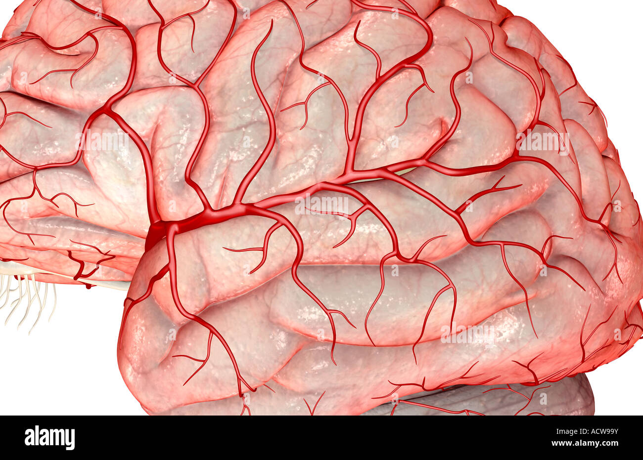 Middle cerebral artery Stock Photo: 13233926 - Alamy