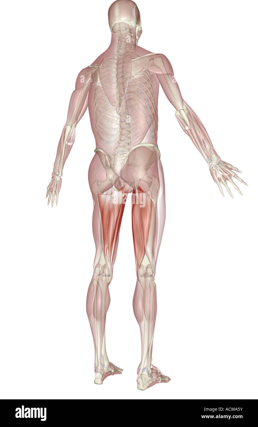 Gracilis muscle stock photos gracilis muscle stock images alamy muscles of the upper leg stock image ccuart Choice Image