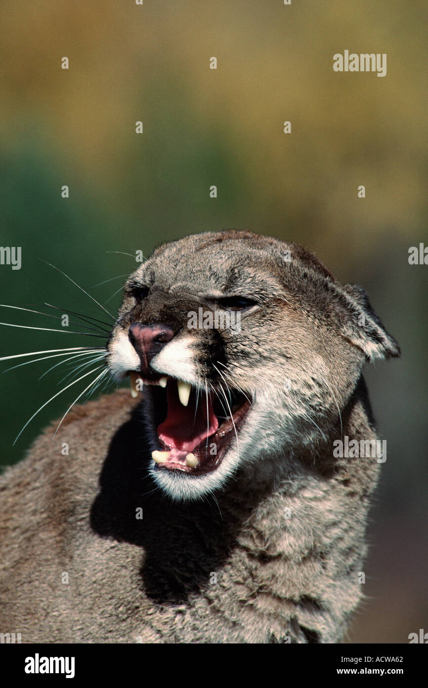 Snarling cougar - Stock Image