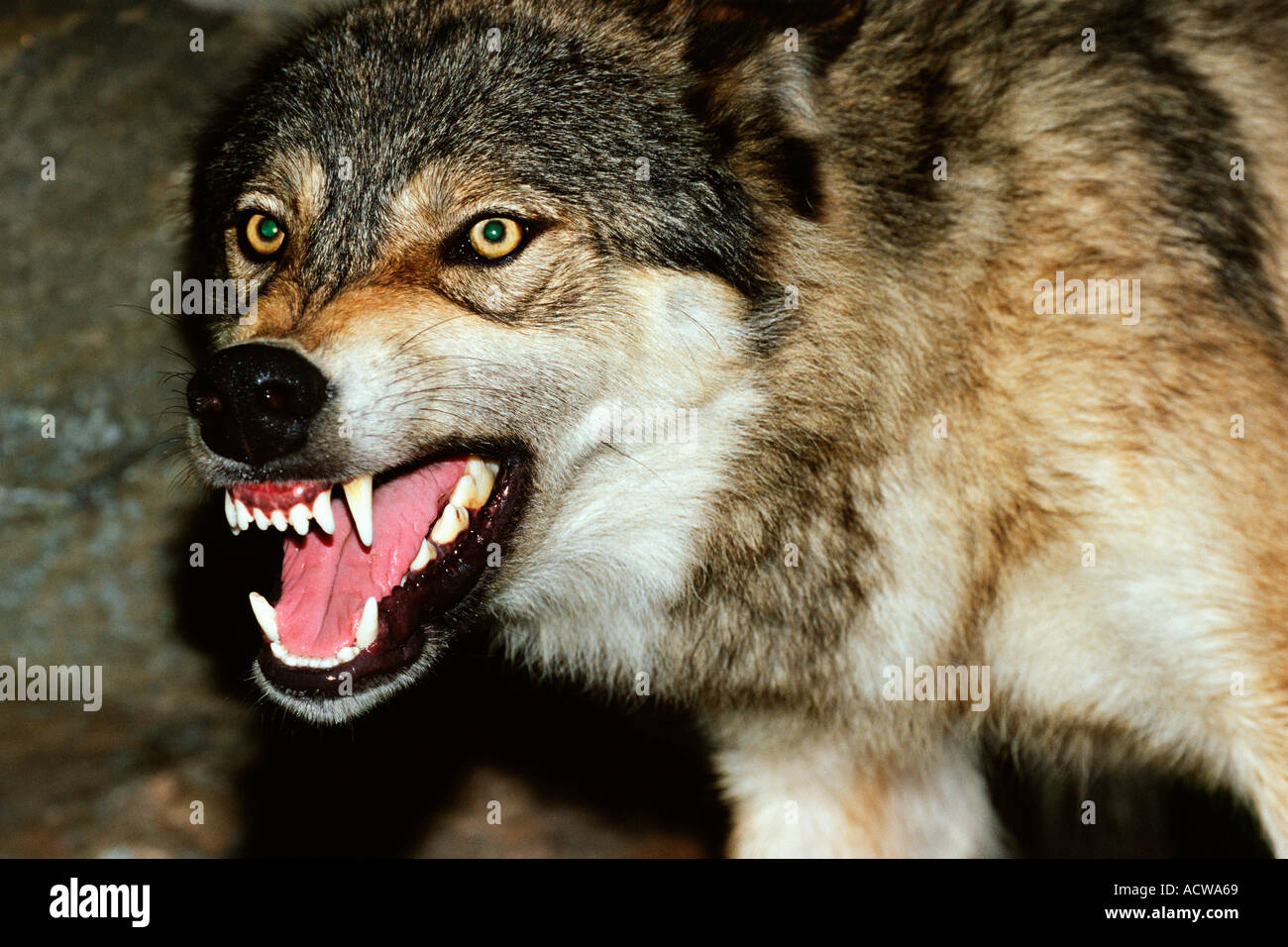 Snarling wolf - Stock Image