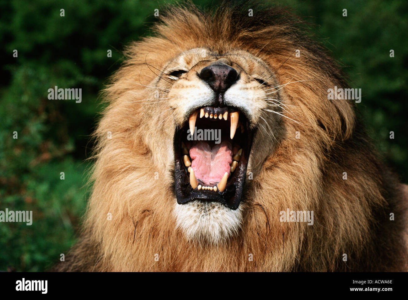 African lion snarling - Stock Image