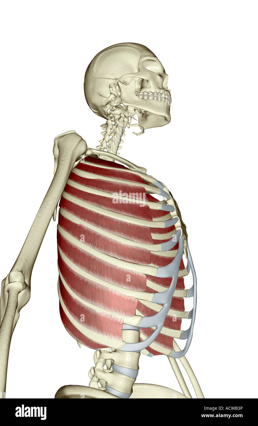 External intercostal muscles Stock Photo: 13234521 - Alamy
