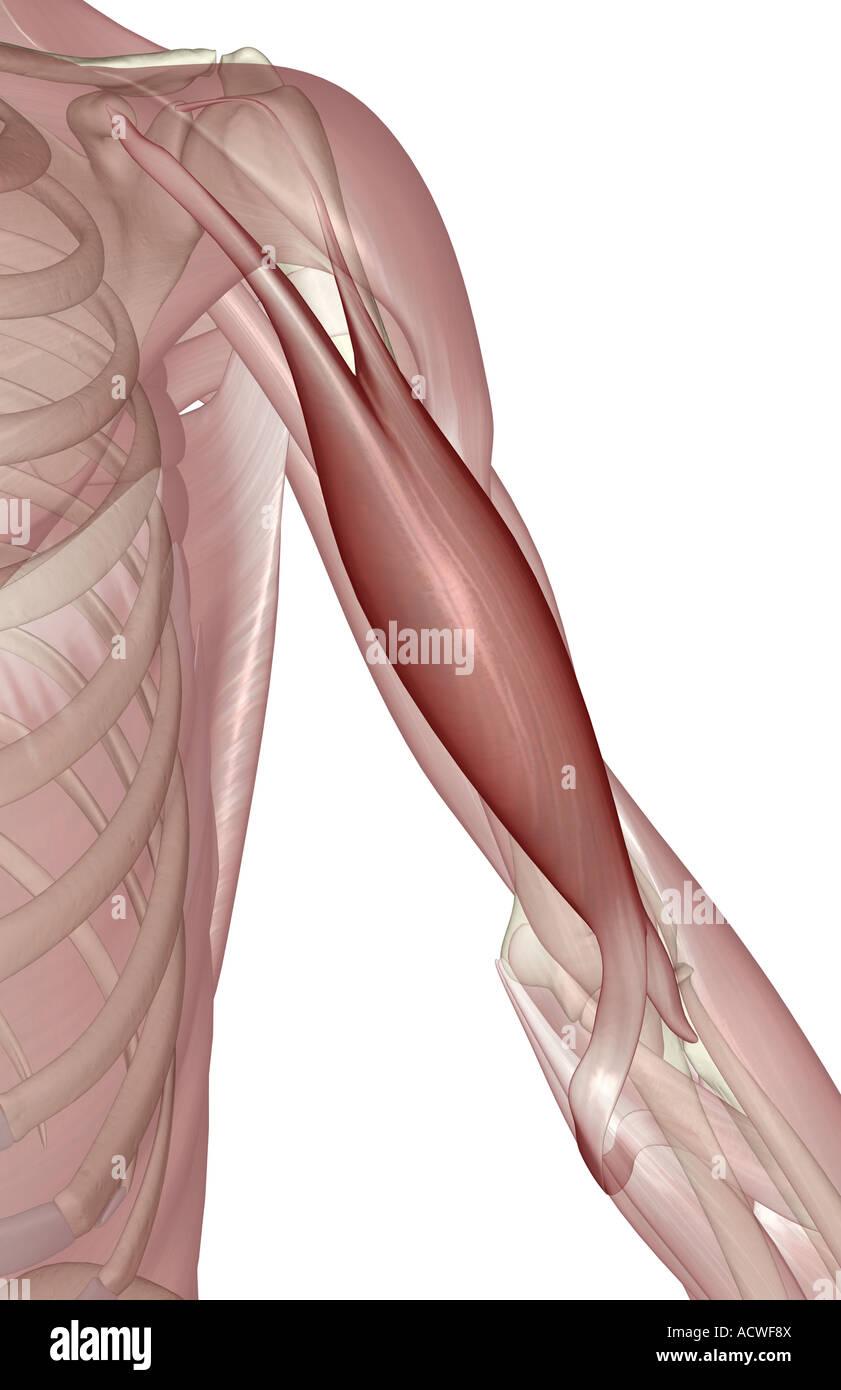 Biceps Brachii Stock Photos Biceps Brachii Stock Images Alamy