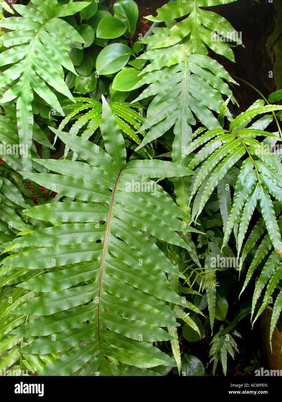 Golden polypody, Golden serpent fern, Cabbage palm fern (Phlebodium aureum, Polypodium aureum), fronds Stock Photo