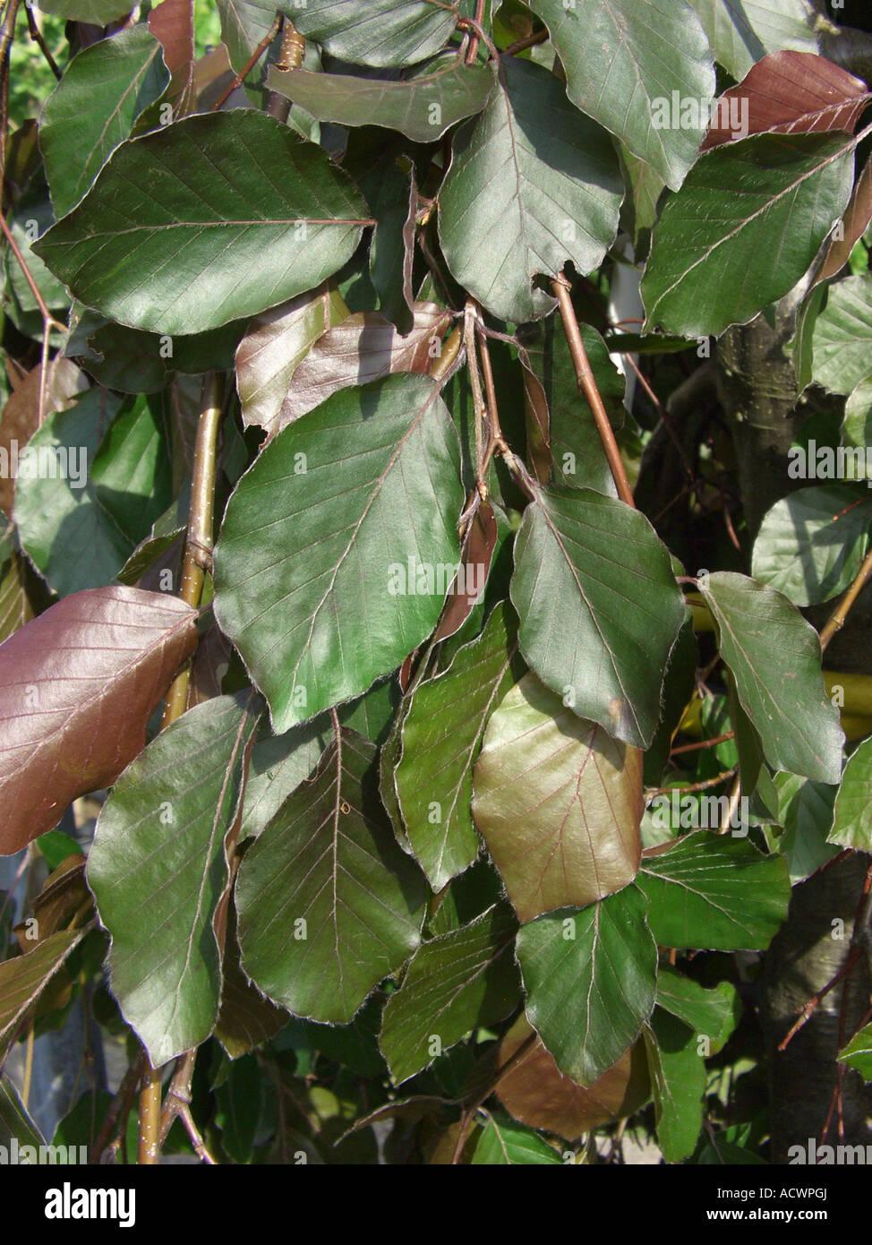 common beech (Fagus sylvatica 'Purpurea Pendula', Fagus sylvatica Purpurea Pendula), twig with leaves - Stock Image
