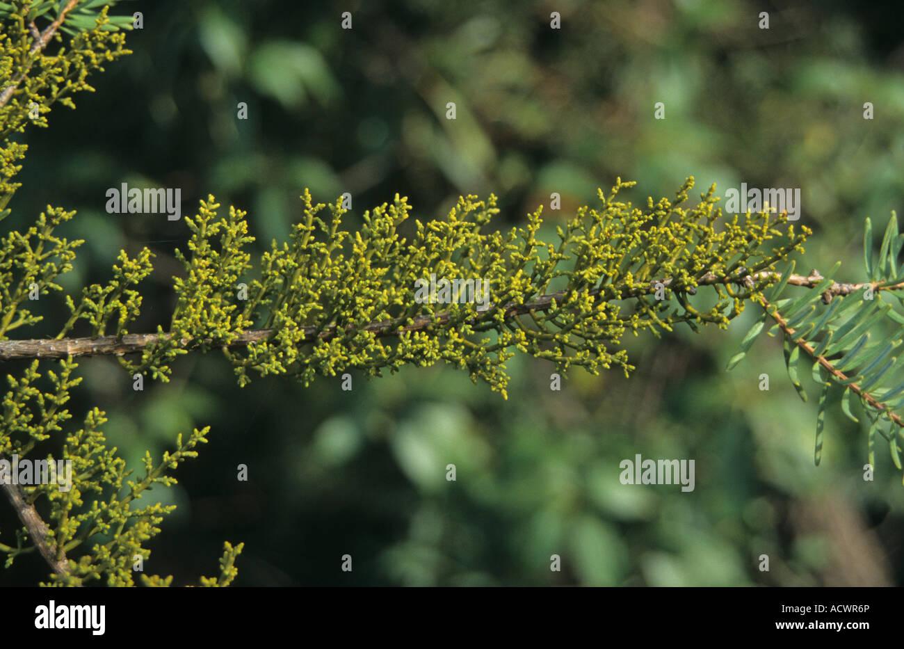Dwarf Mistletoe Arceuthobium chinense on Keteleeria evelyniana Kunming Yunnan China - Stock Image