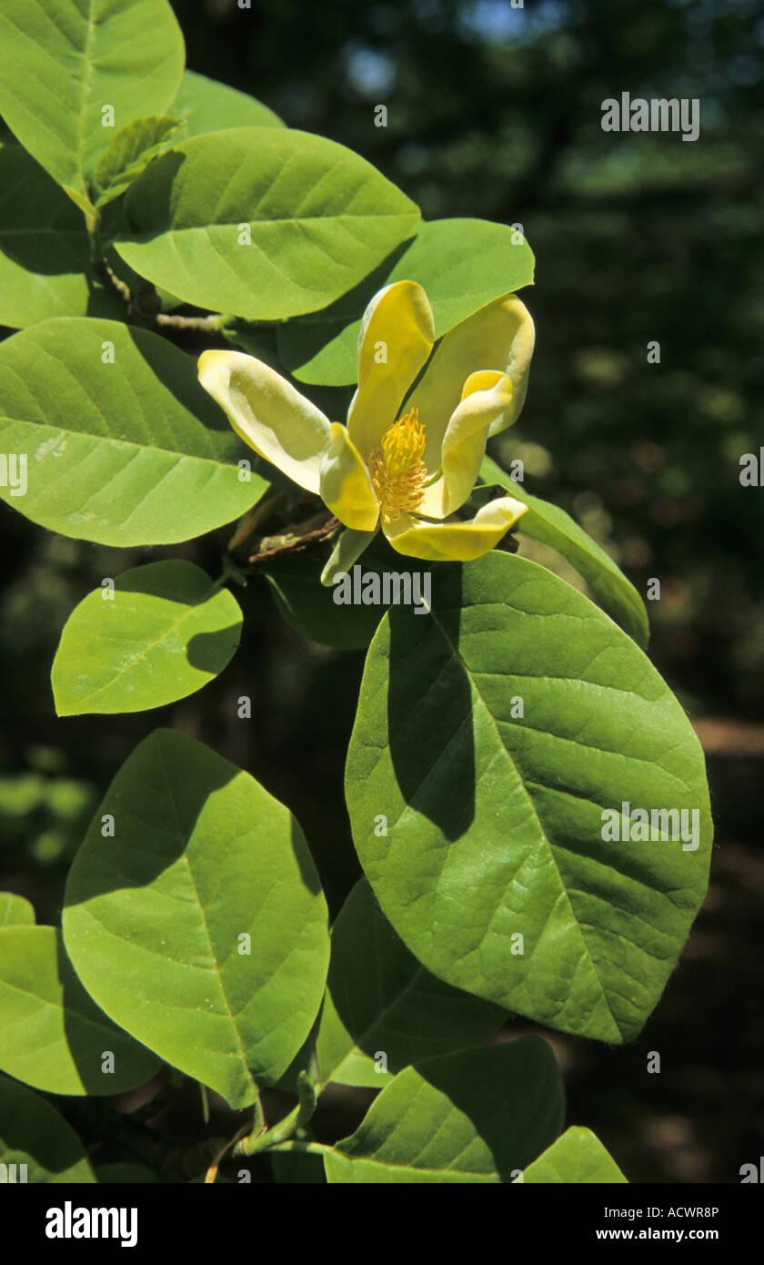 Cucumber Tree Magnolia Acuminata Var Subcordata Flower And Leaf