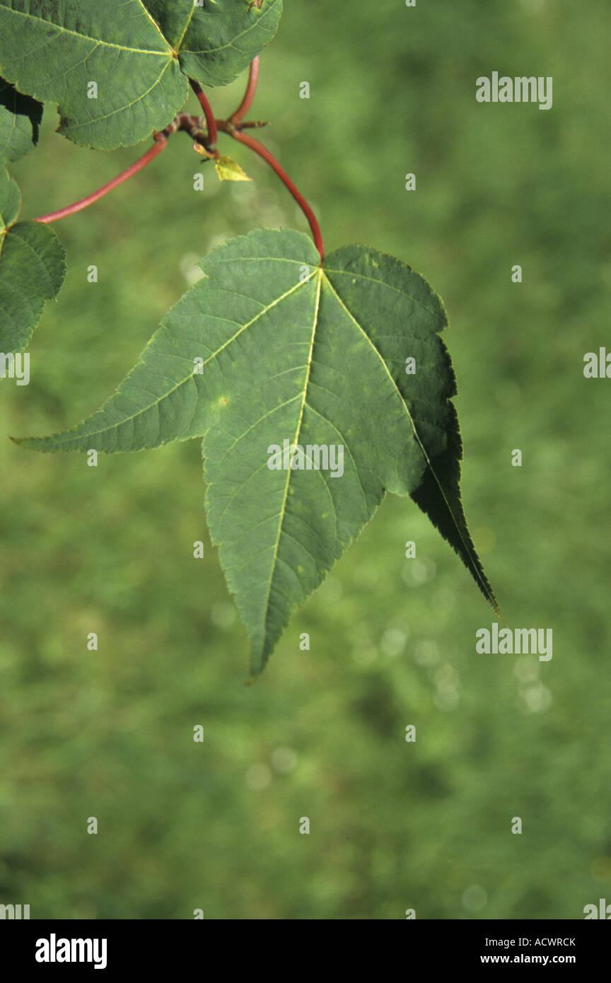 Forrest s Maple Acer forrestii leaf - Stock Image