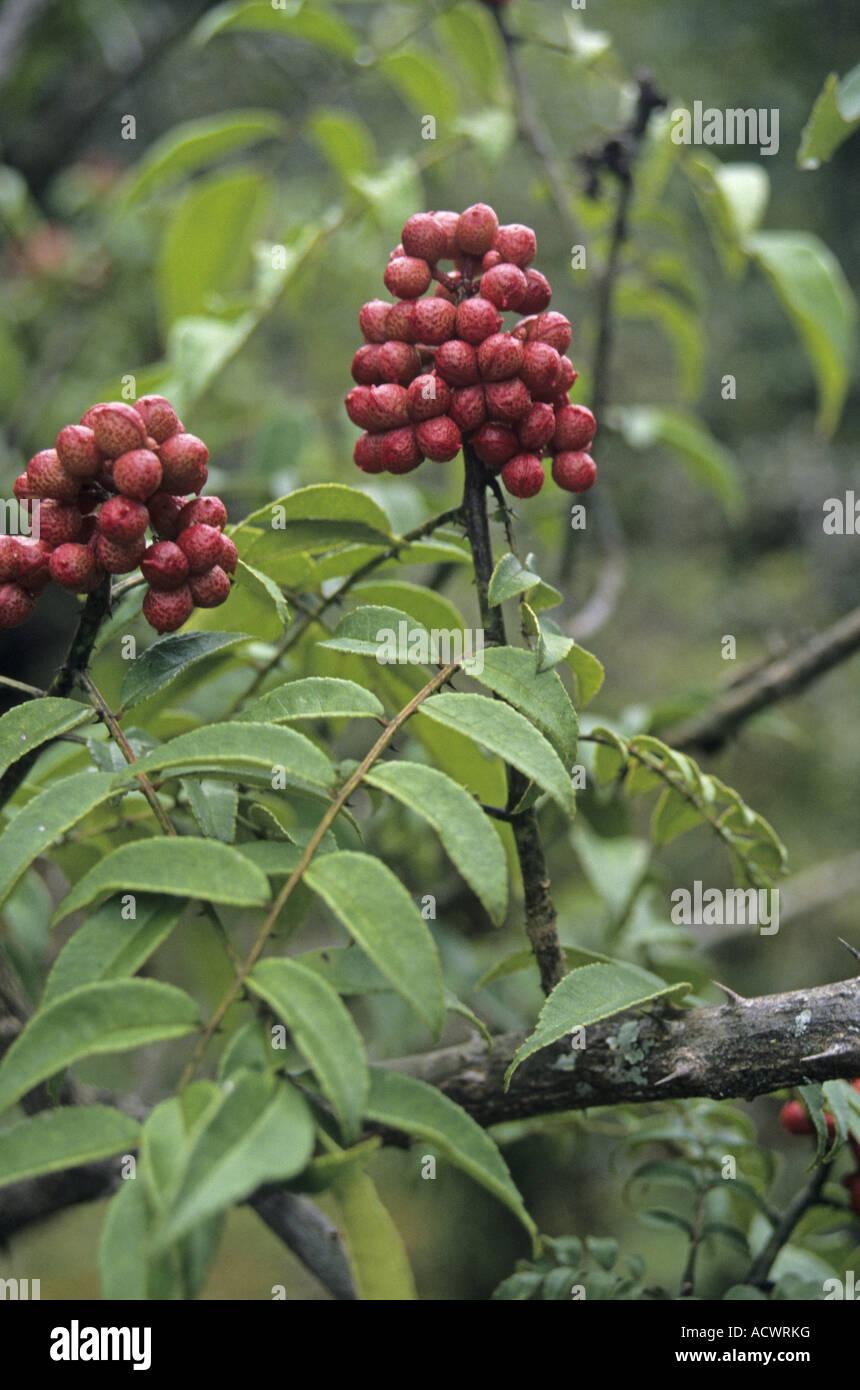 Prickly ash Zanthoxylum oxyphyllum spinous scrambling shrub in fruit Chenbedji Central Bhutan - Stock Image