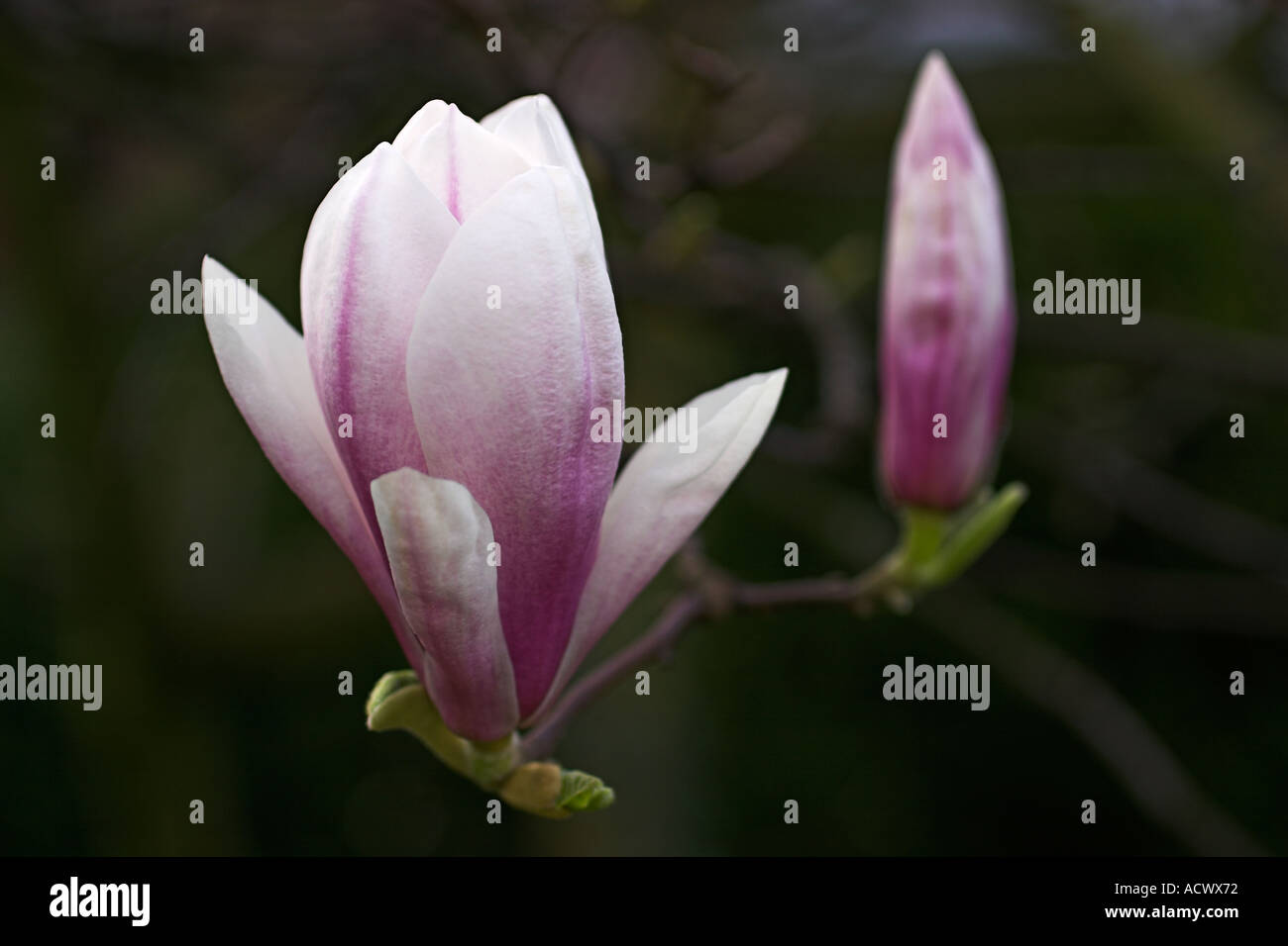 Image Of A Magnolia Tree With Large Fragrant Pink Flowers And Leaves