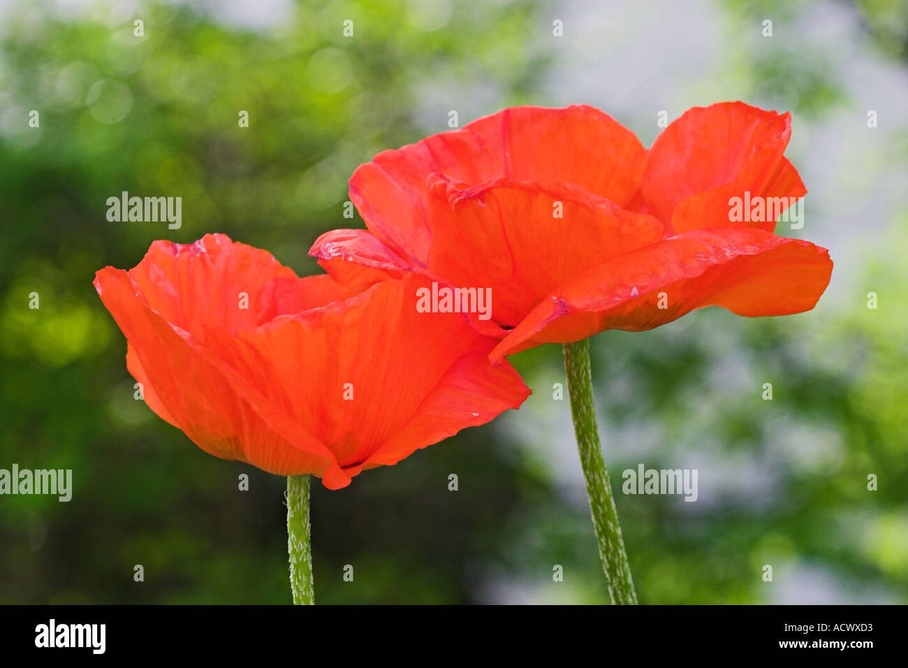 red poppy flowers seen from above during spring Stock Photo