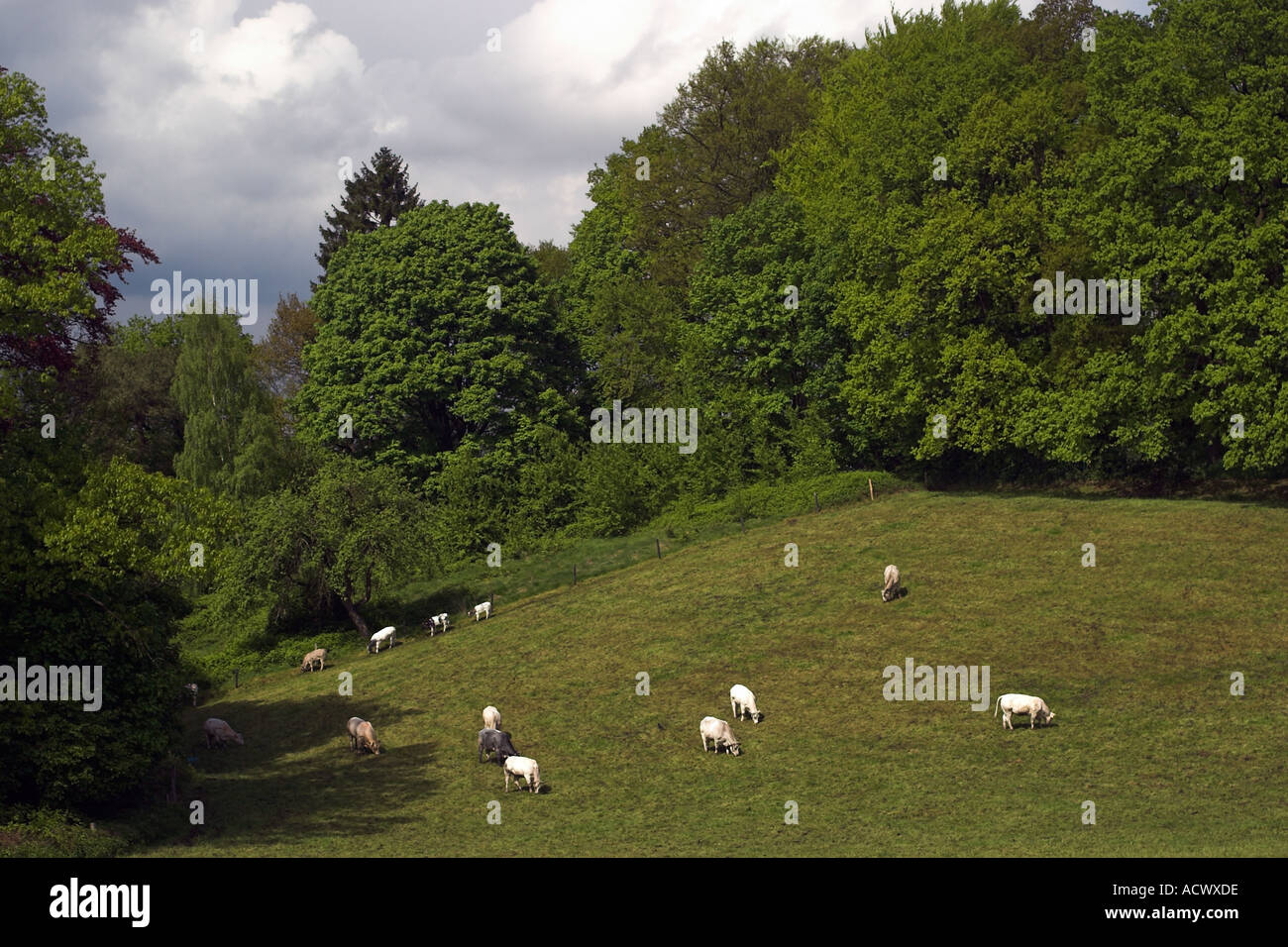 field populated with cows seen from above during spring in Aachen Germany - Stock Image