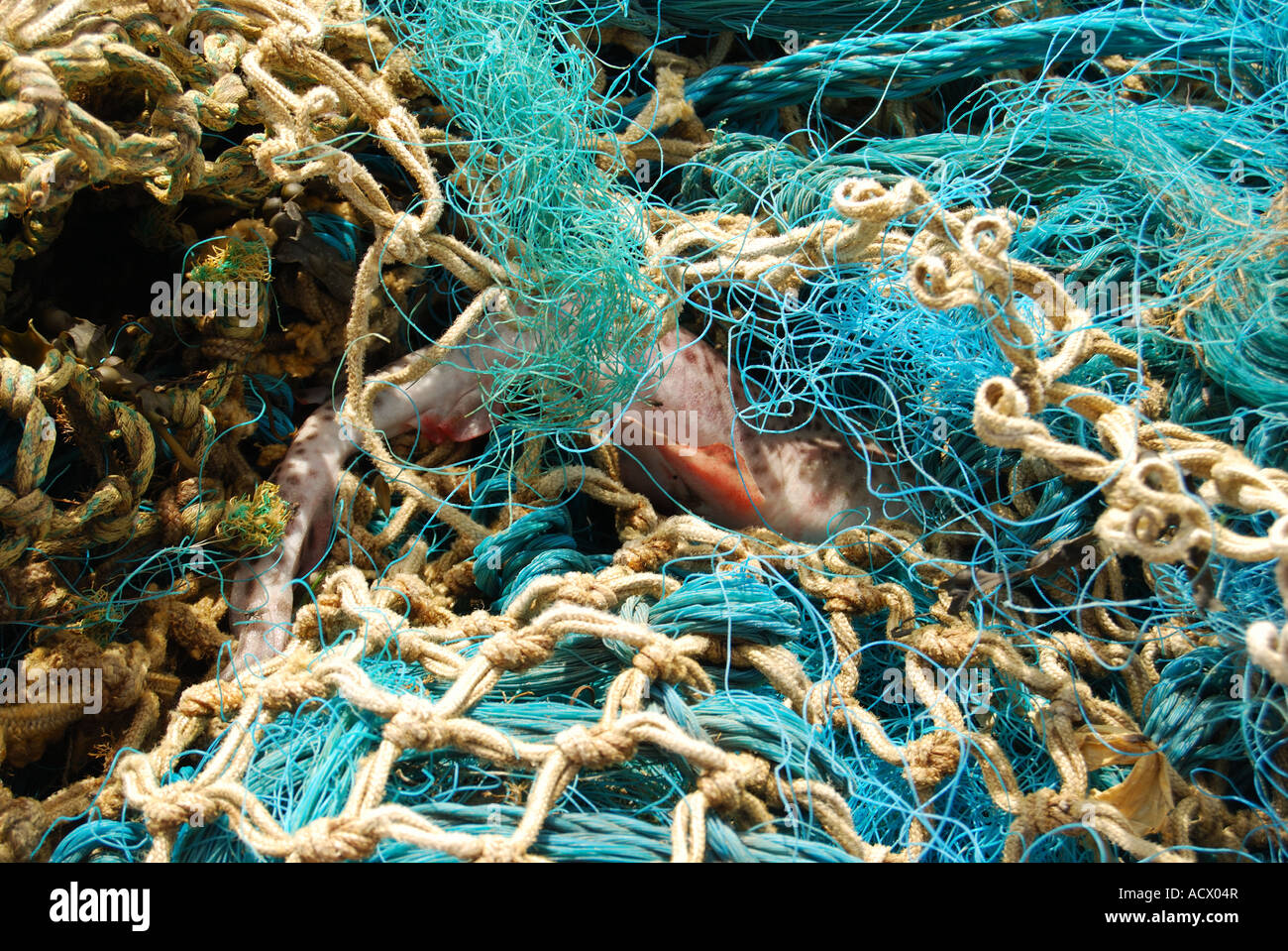 fish caught in washed up plastic fishing net 2520 - Stock Image