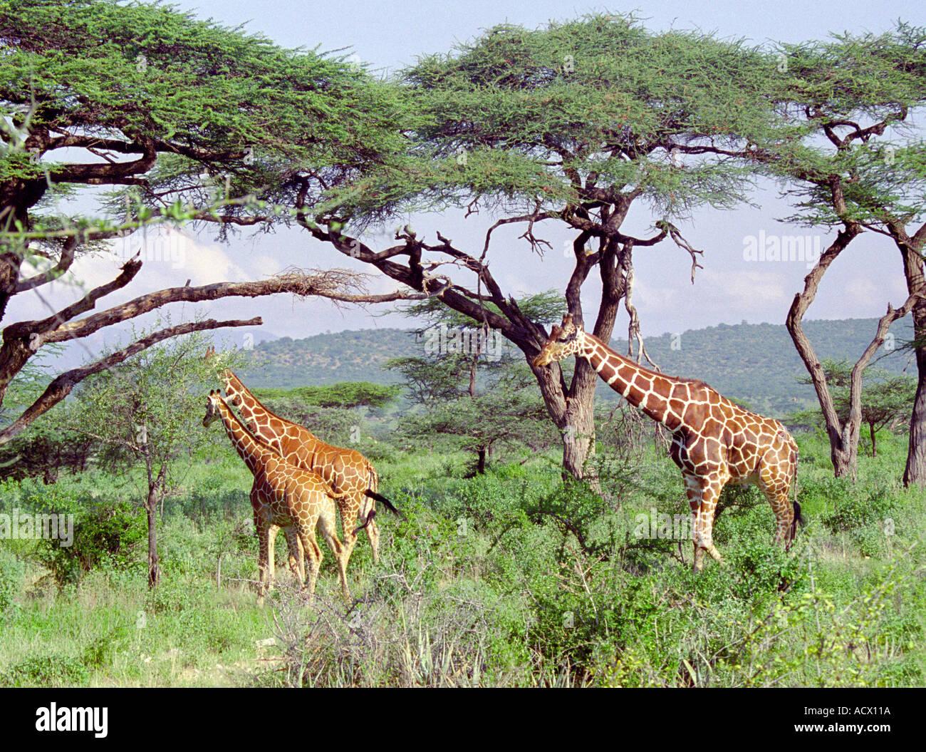 Rothschild Giraffe, Giraffa camelopardalis rothschildi, Giraffidae - Stock Image