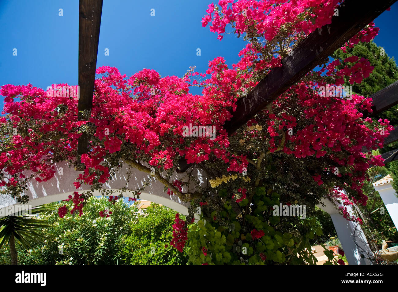 Bougainvillea growing outside villa in the Algarve Portugal - Stock Image