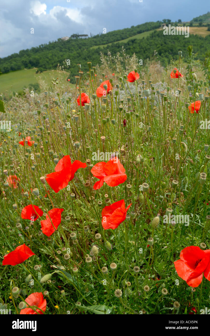 Poppys and wild flowers in Tuscany, Italy - Stock Image