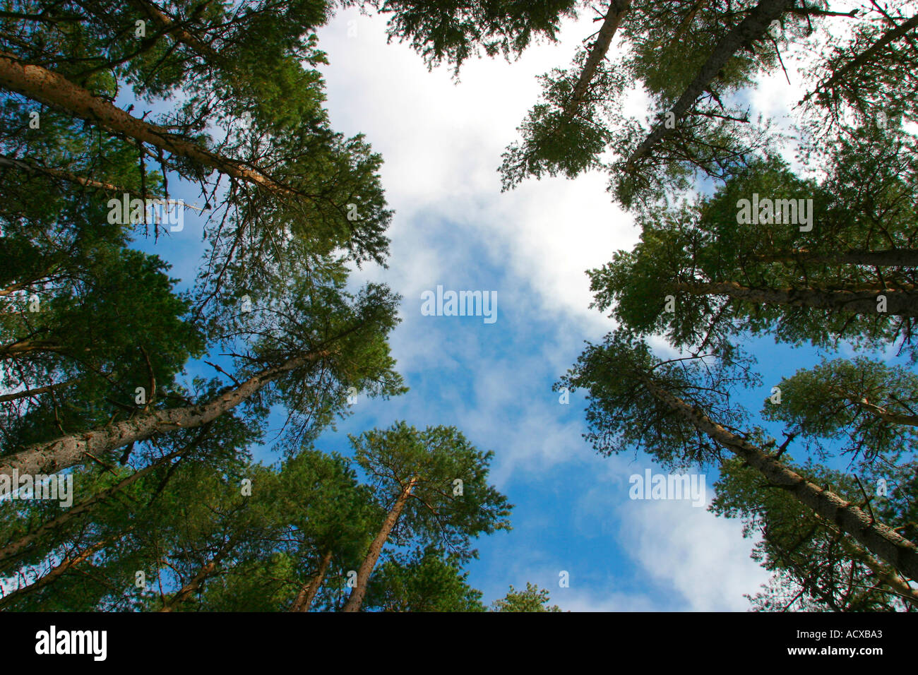 Looking up at blue sky with clouds through pine trees - Stock Image