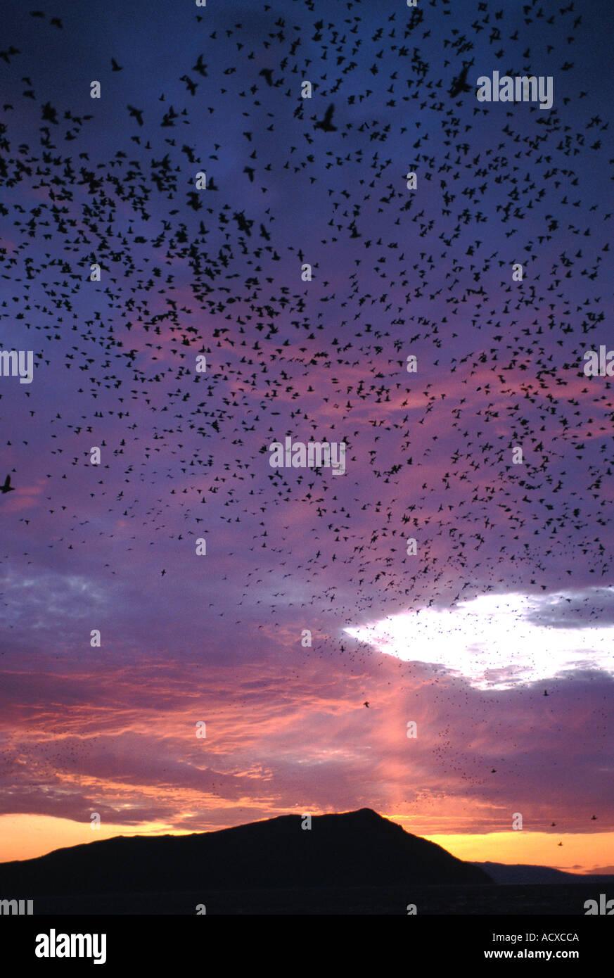 CRESTED AUKLETs (Aethia cristatella) Huge flocks at dusk midnight Talan island Sea of Okhotsk RUSSIA - Stock Image