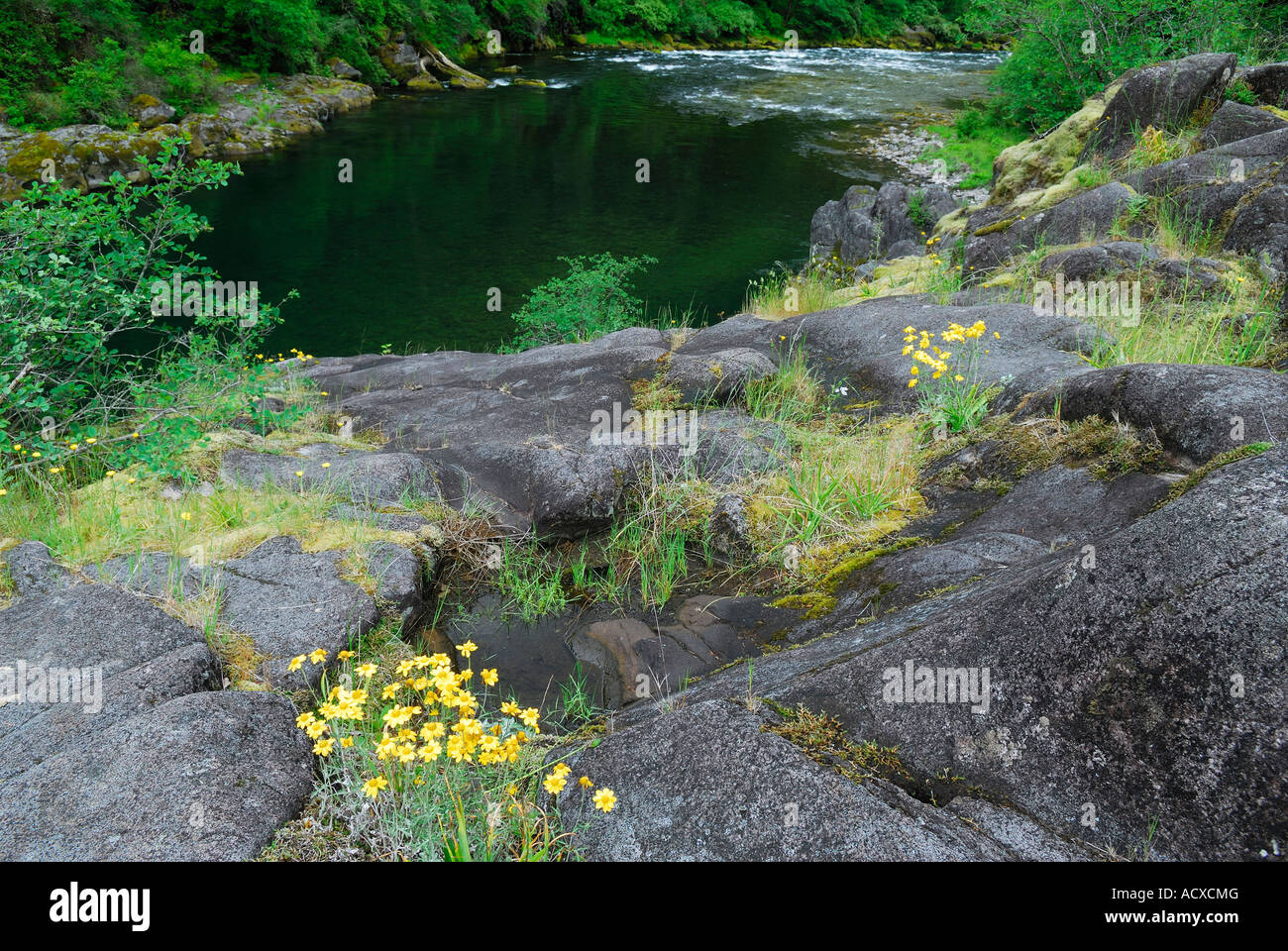 Wildflower daisies and glacial smoothed rock on the North Santiam River Mill City Oregon USA - Stock Image