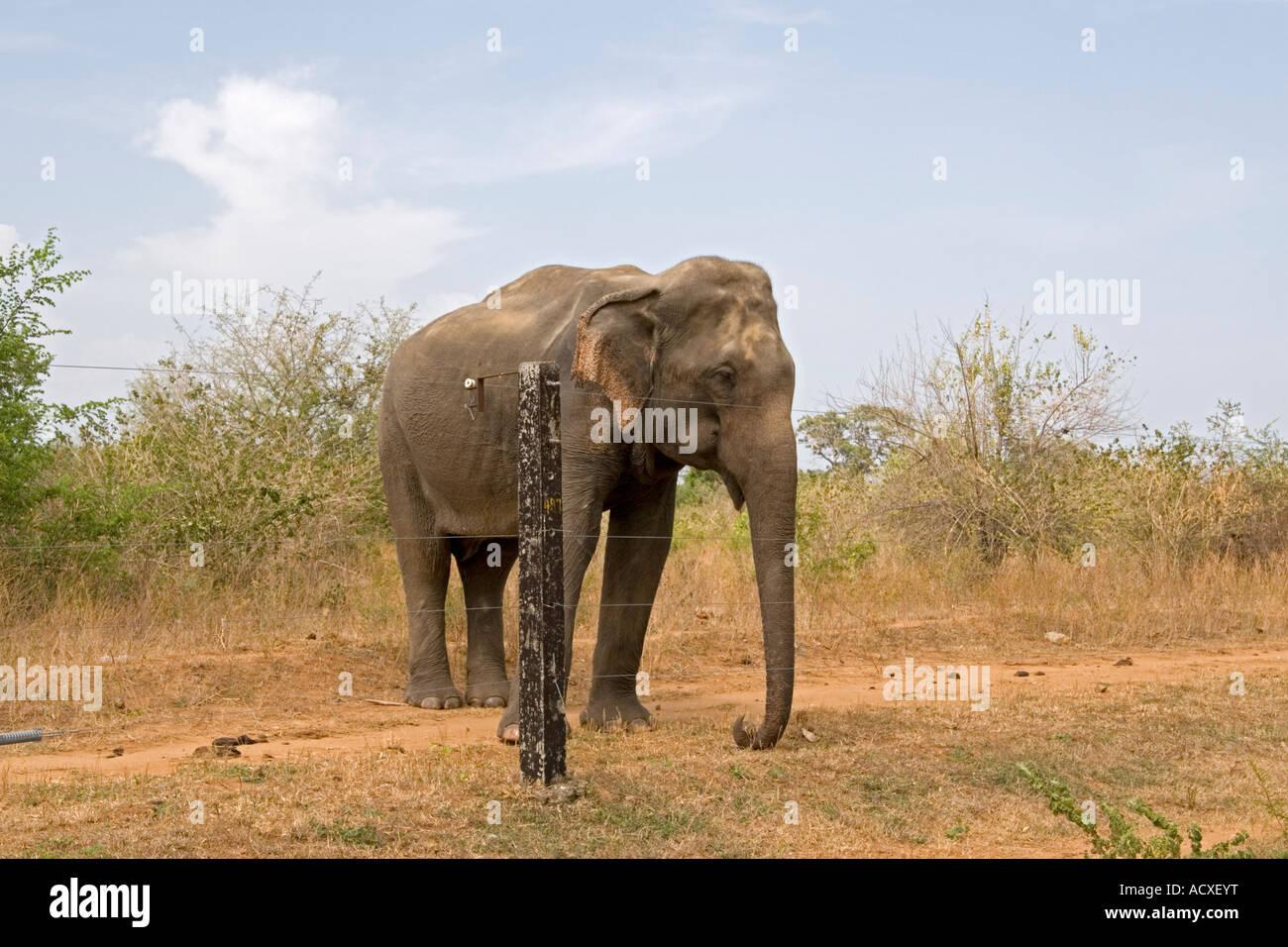 Elephant at Electric Fence, Uda Walawe National Park, Sri Lanka. - Stock Image