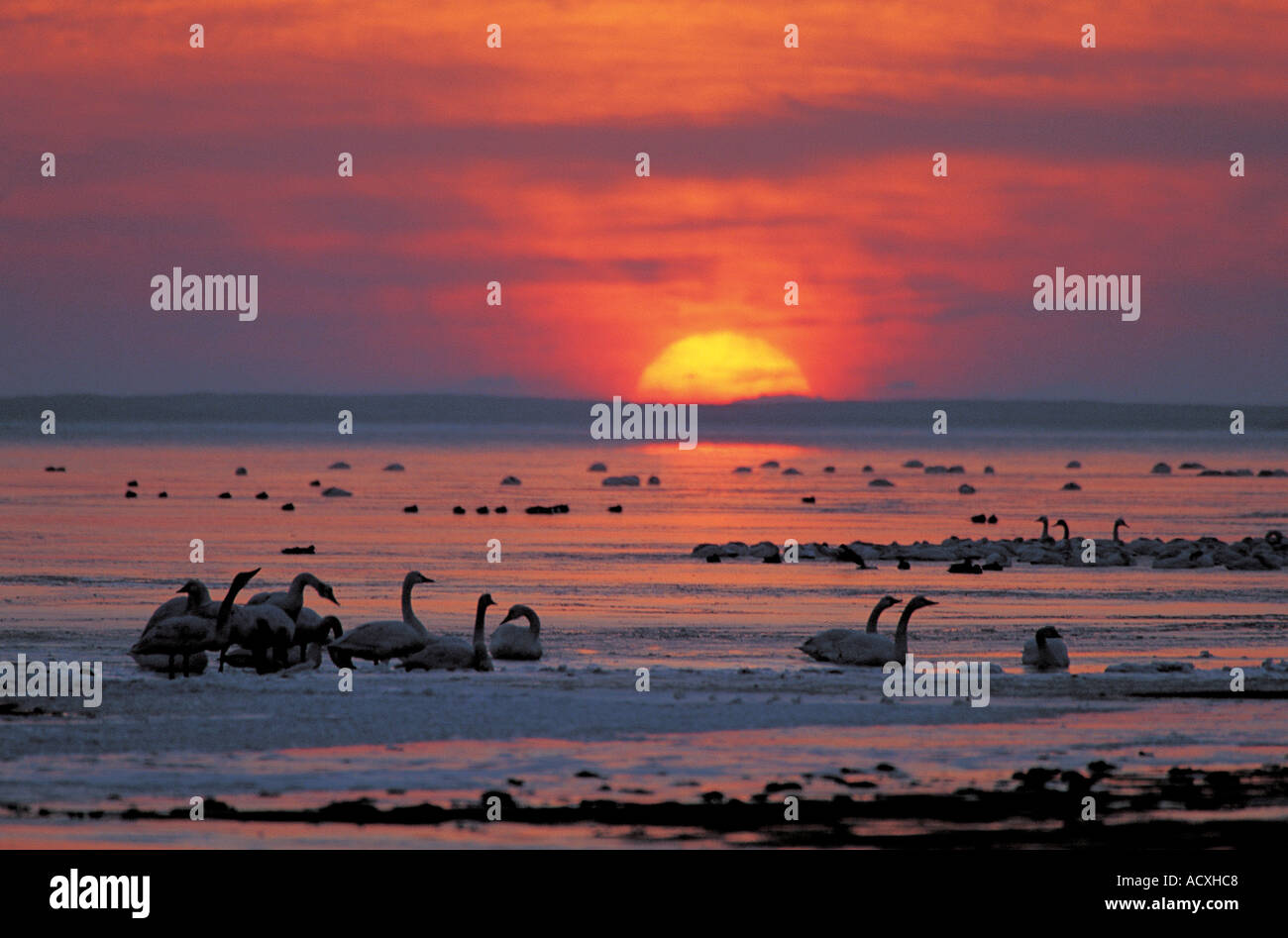 swan in winter - Stock Image