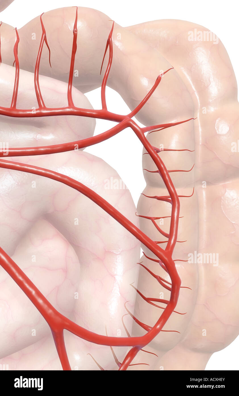 Mesenteric Artery Stock Photos Mesenteric Artery Stock Images Alamy