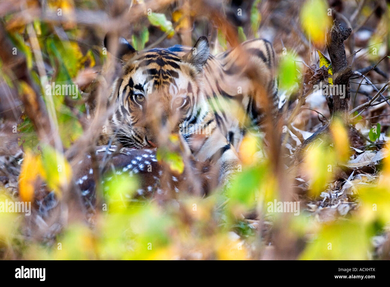 Wild Royal Bengal indian tiger eating kill of spotted deer or Chital Axis Axis Bandhavgarh National Park Madhya - Stock Image