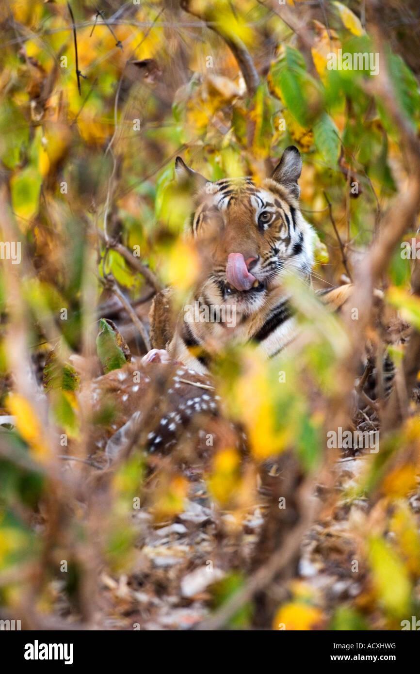 Wild Royal Bengal indian tiger eating kill of spotted deer in Bandhavgarh National Park Madhya Pradesh Northern - Stock Image
