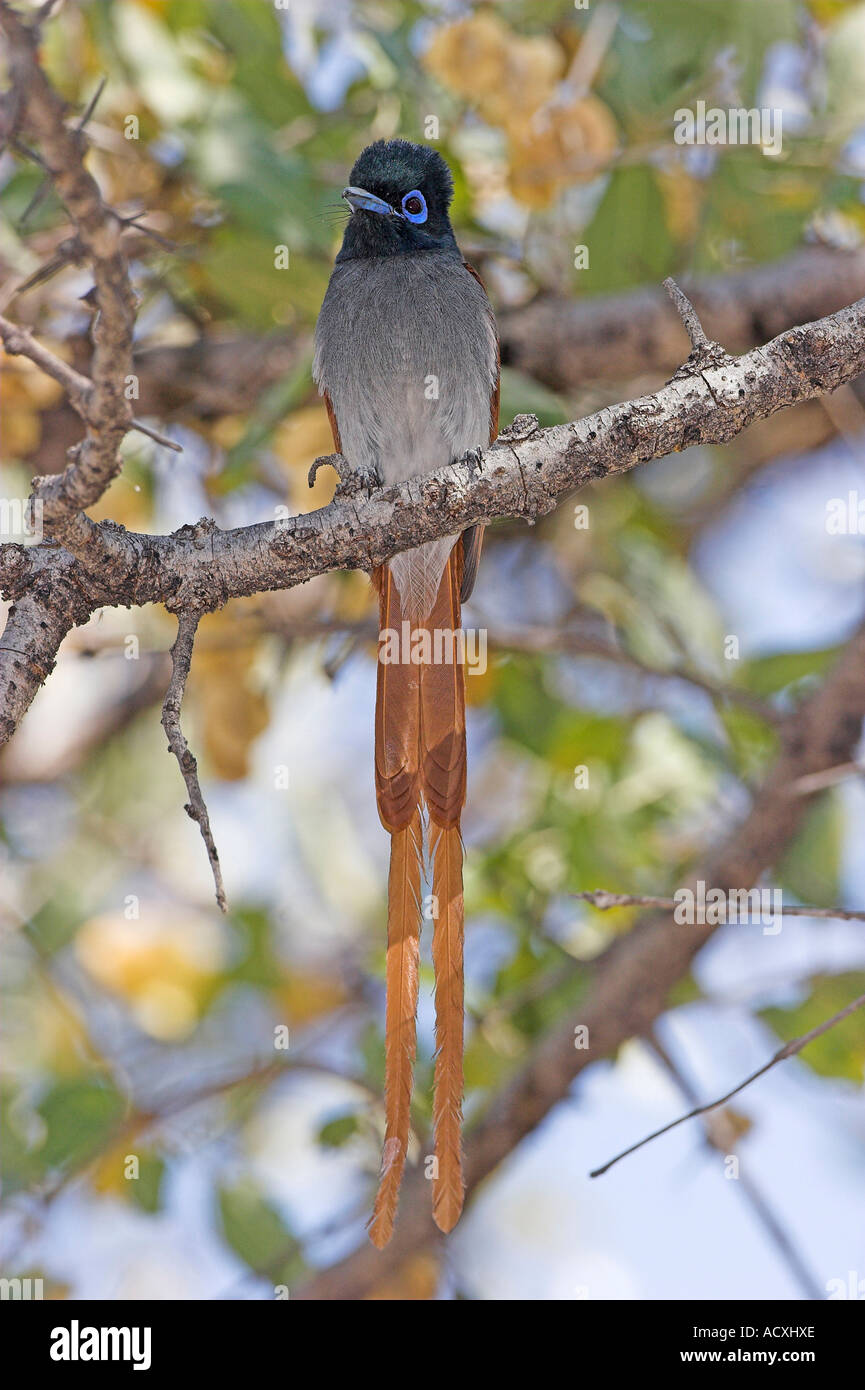 African Paradise Flycatcher  Stock Photo