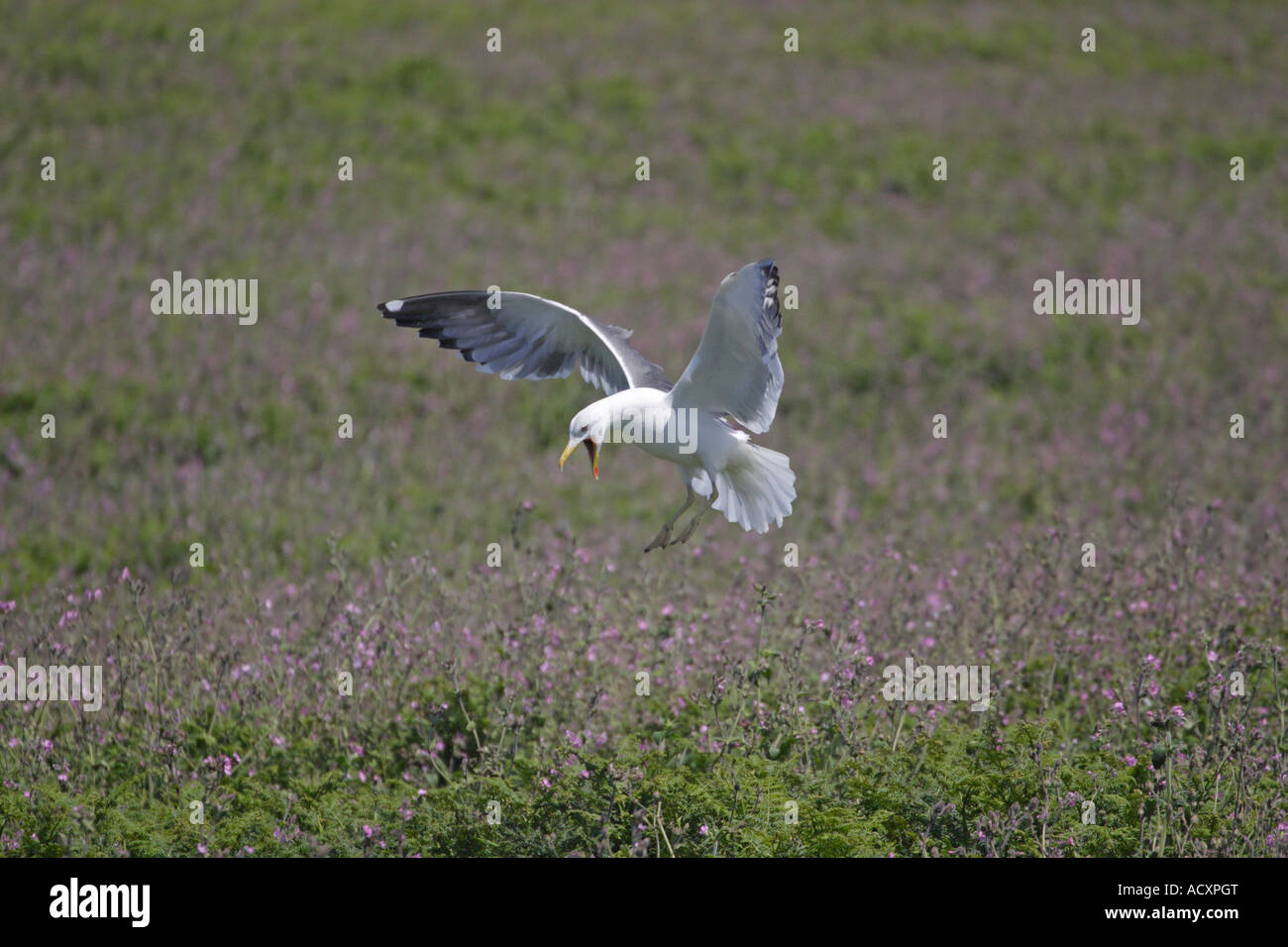 Lesser black backed Gull landing in Red Campion Stock Photo