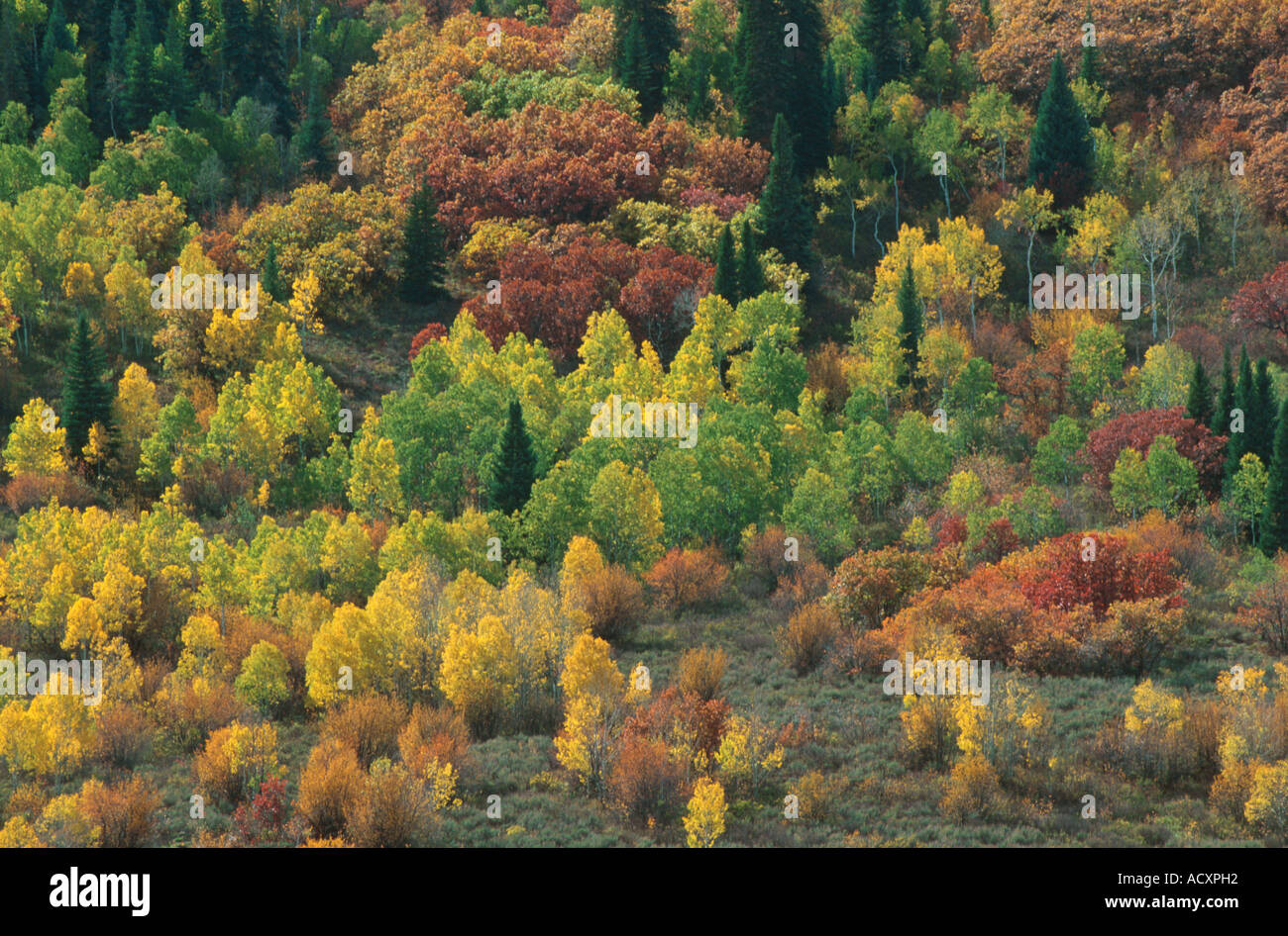 Fall colors in mixed forest of pine aspen and gambel oak Steamboat ...