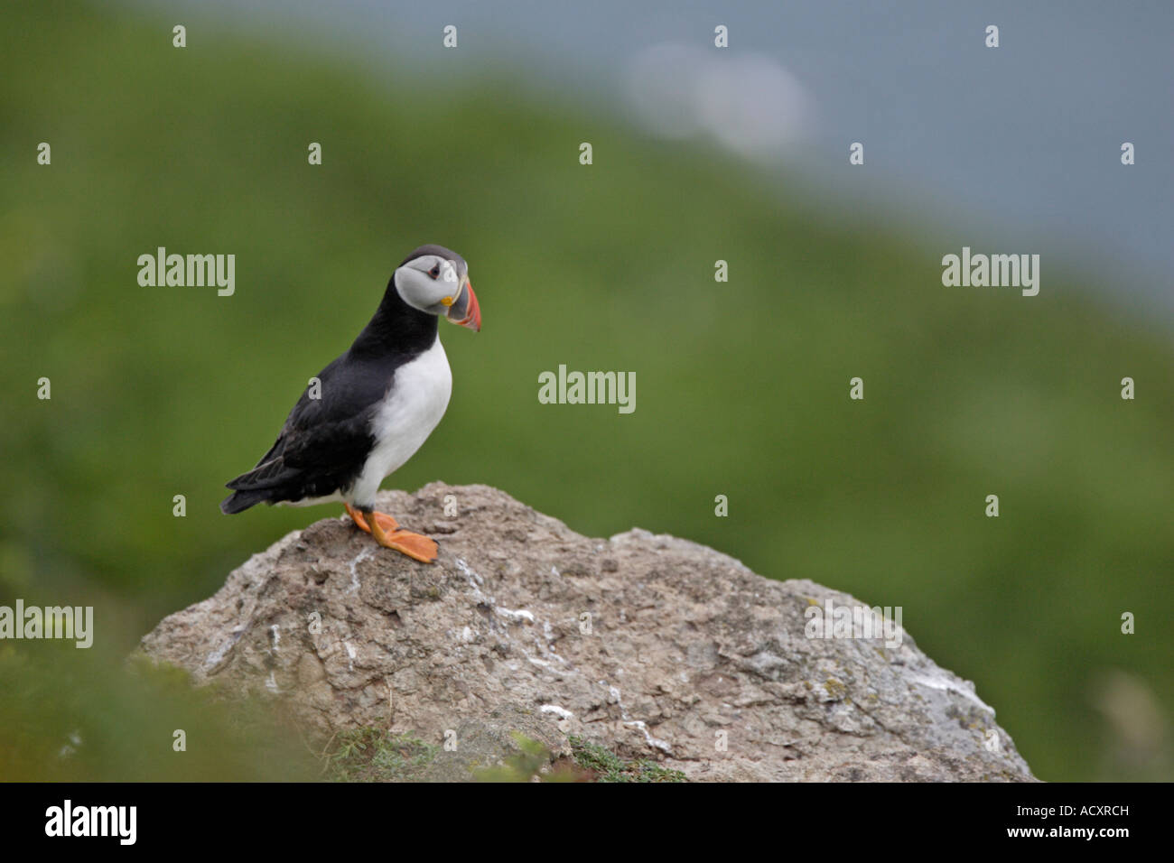 Puffin stood on rock - Stock Image