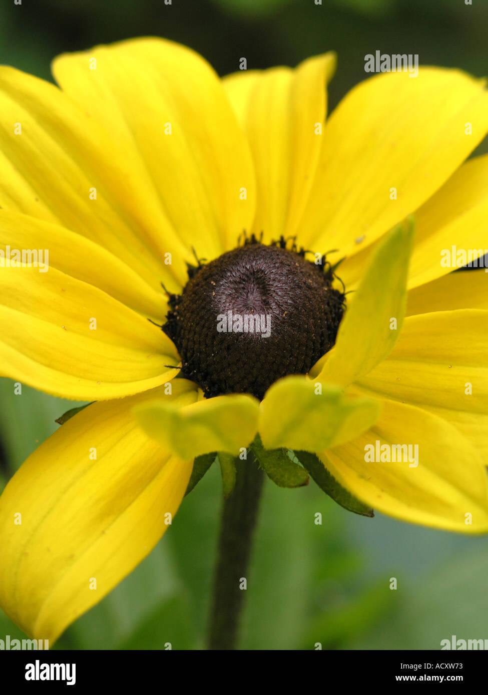 Yellow flower black centre black eyed susan latin namerudbeckia yellow flower black centre black eyed susan latin namerudbeckia mightylinksfo