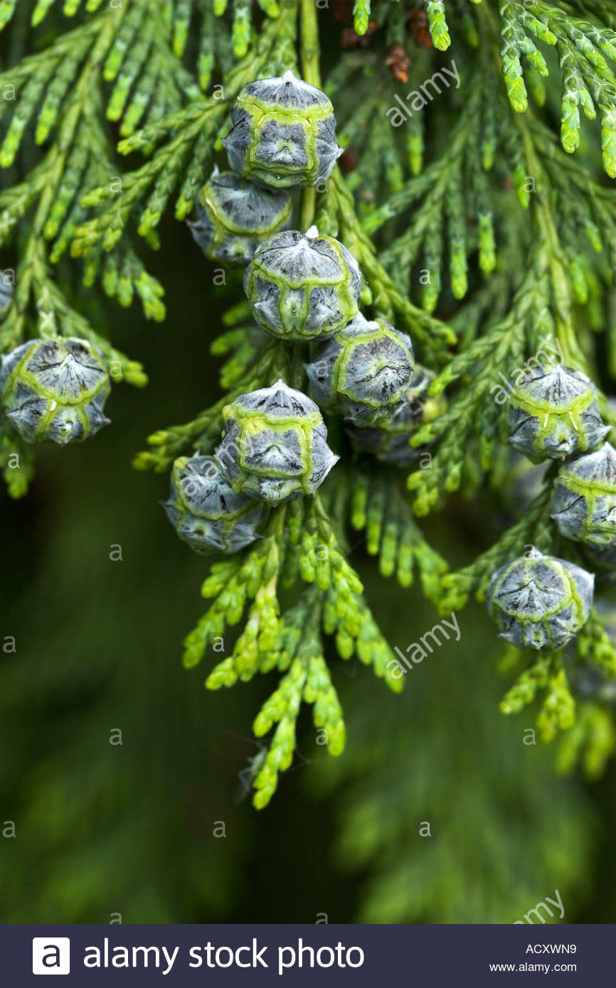 Immature cones of Lawsons Cypress Chamaecyparis lawsoniana - Stock Image