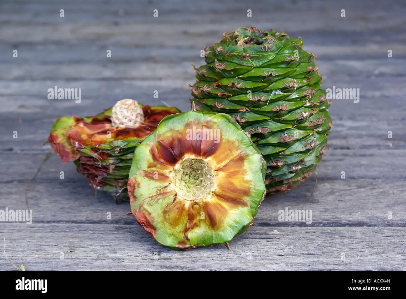 australian bush tucker bunya nut Araucaria bidwillii one chopped showing inside and one whole Stock Photo