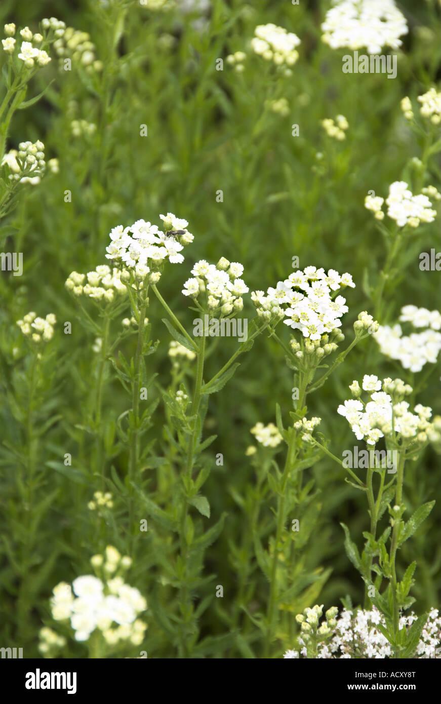 Herb English Mace achillea decolorans Stock Photo: 13249367