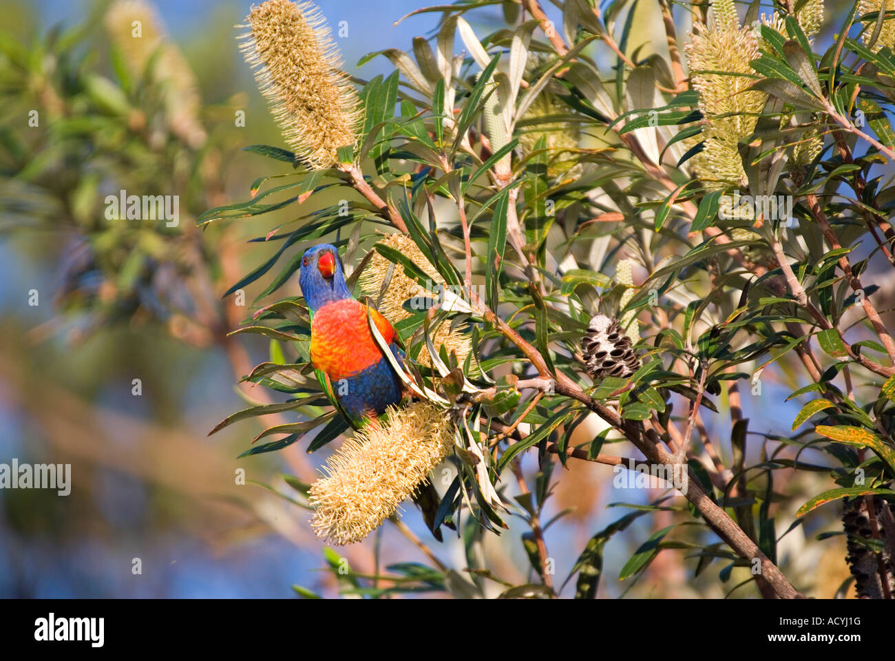 a rainbow lorikeet is eating some banksia flowers - Stock Image