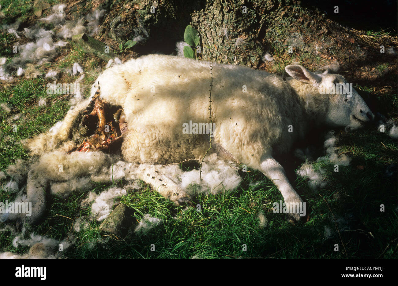 Sheep killed by a dog in the Lake District Cumbria Stock Photo
